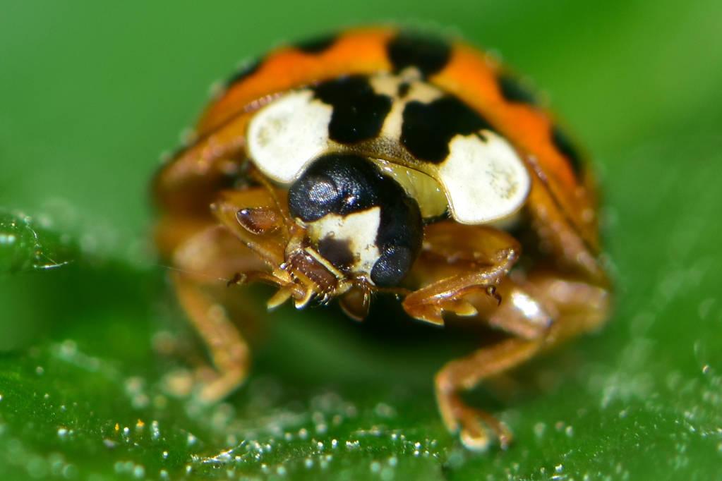 Coccinellidae – Slunéčkovití