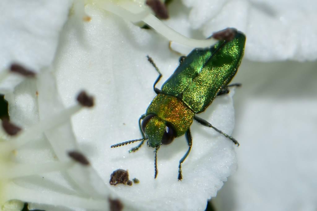 Buprestidae – Krascovití