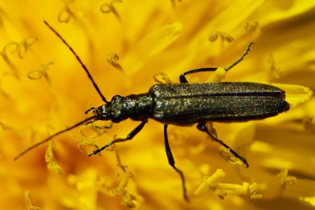 Oedemeridae – stehenáčovití