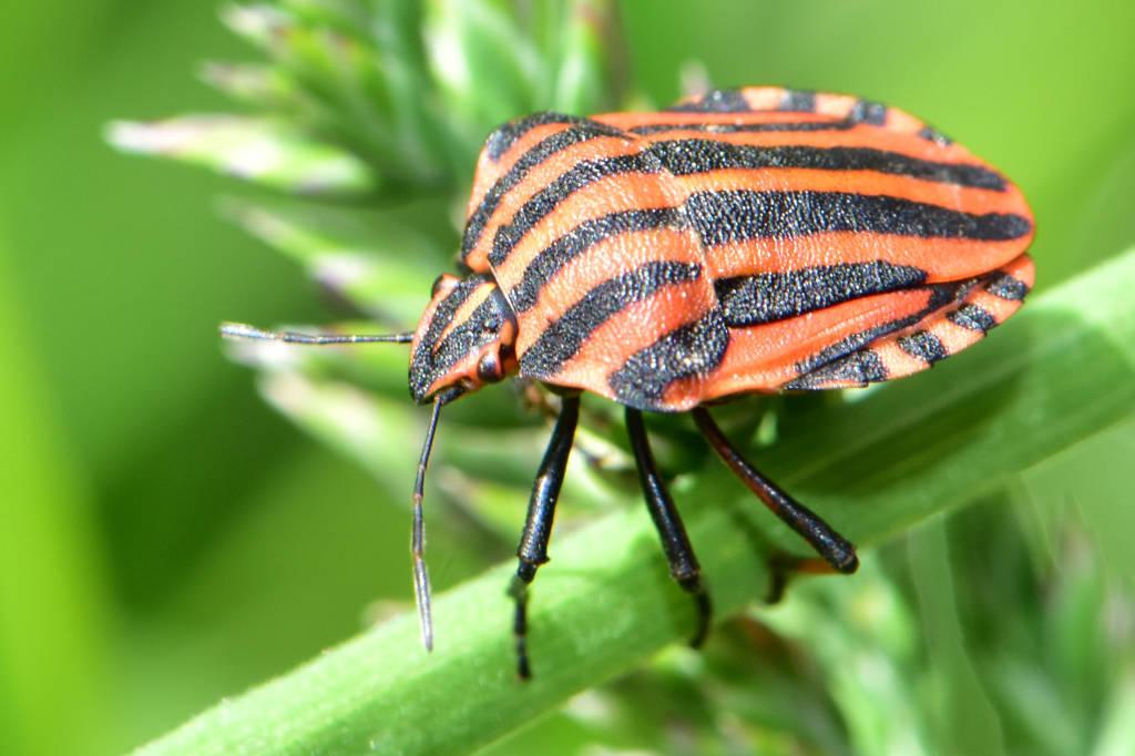 Heteroptera – Ploštice