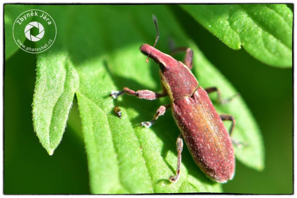 Curculionidae – Nosatcovití